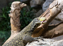 Reptile on a rock. Near a tree royalty free stock photography