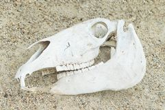 Reptile's skull in the sand.  Royalty Free Stock Images