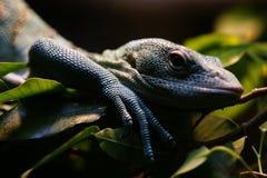 Reptile in San Diego Zoo. Reptile, San Diego Zoo, Green Leaf, Shy, Eye Stock Photos