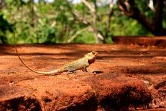 Reptile sauvage Photos libres de droits