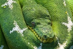 Reptile, Scaled Reptile, Green, Snake Stock Image