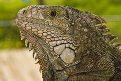 Reptile, Scaled Reptile, Iguana, Terrestrial Animal stock images
