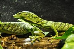 Reptile, Scaled Reptile, Lacertidae, Fauna stock image