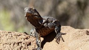 Reptile, Scaled Reptile, Lizard, Terrestrial Animal royalty free stock image