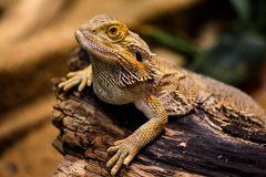 Reptile, Scaled Reptile, Lizard, Terrestrial Animal stock photos