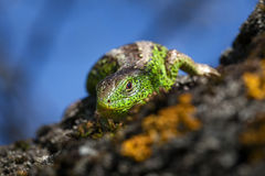Reptile shot close-up.Nimble green lizard & x28; Lacerta viridis, Lacerta agilis & x29; closeup, basking ontree under the sun. Stock Photos