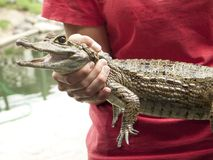 Reptile show displaying Spectacled caiman Caiman crocodilus a crocodilian in the family Alligatoridae,. Spectacled caiman Caiman crocodilus a crocodilian in the royalty free stock photo