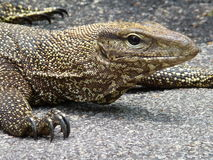 Reptile, Singapour Image stock
