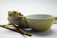 Reptile with the soup bowl Royalty Free Stock Photography