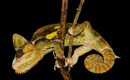 Reptile on a stick #2 stock photography