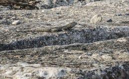 Reptile on stone Stock Photos