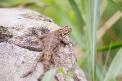 Reptile in the sun. When it's hot, reptiles often come to soak up the sun Royalty Free Stock Photography