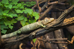 Reptile sur l'arbre Photos stock