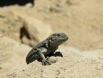 Reptile sur le plancher volcanique images stock