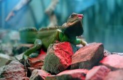 Reptile sur les pierres Images libres de droits