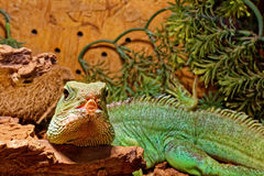 Reptile in the terrarium - Chinese water dragon Royalty Free Stock Photos
