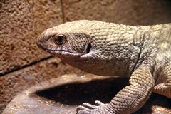 Reptile, Terrestrial Animal, Lizard, Scaled Reptile stock photos