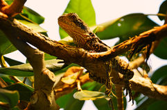 Reptile on tree branch Stock Image