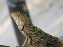 Reptile on the tropical beach Royalty Free Stock Photography