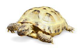 Reptile turtle animal. Slow speed, isolated object stock images