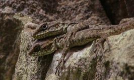 Reptile vivant de séjour de séjour ! Photographie stock libre de droits