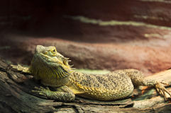Reptile. Wildlife bearded dragon reptile on a branch Royalty Free Stock Image