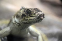 Reptile Royalty Free Stock Photography