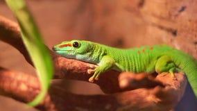 Reptile in zoo terrarium. Phelsuma gecko lizard. Closeup of madagascar lizard stock footage