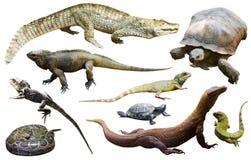Reptiles aislados en blanco Foto de archivo libre de regalías