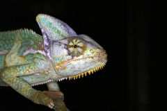 Reptiles - amphibian - chameleon. Colorfull chameleon royalty free stock photography