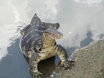 Reptiles asiáticos del lagarto de monitor de agua que viven en corriente Imagen de archivo libre de regalías