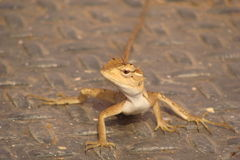 Reptiles. Brown wild lizard. .beautiful reptile Stock Photos