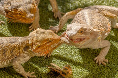 Pogona reptiles. Pogona Vitticept reptiles competing for food, biting each other Stock Image