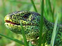 Reptiles del lagarto Foto de archivo