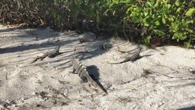 Reptiles del lagarto de la iguana en la playa arenosa, animal metrajes