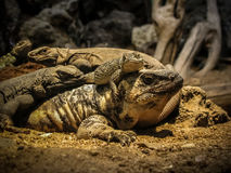 Reptiles. Friends - Suspicious Lizard Eyes Stock Photo