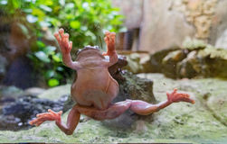Reptiles - frog Royalty Free Stock Images