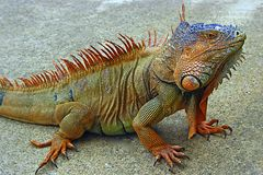 Reptiles - iguana. Colourful iguana on the farm in Honduras stock image