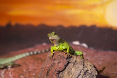 Reptiles. Live wild reptiles lizards shot close-up in nature Stock Images