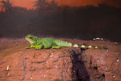 Reptiles. Live wild reptiles lizards shot close-up in nature Royalty Free Stock Images