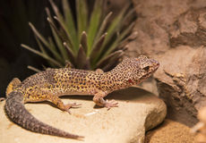 Reptiles. Live wild reptiles lizards shot close-up in nature Royalty Free Stock Photo
