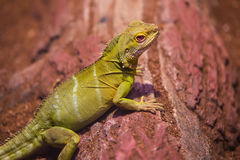 Reptiles. Live wild reptiles lizards shot close-up in nature Stock Photos