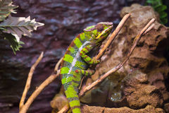 Reptiles. Live wild reptiles lizards shot close-up in nature Stock Photos