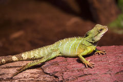 Reptiles. Live wild reptiles lizards shot close-up in nature Royalty Free Stock Photos