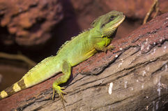 Reptiles. Live wild reptiles lizards shot close-up in nature Stock Image