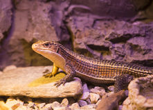Reptiles. Live wild reptiles lizards shot close-up in nature Royalty Free Stock Photography