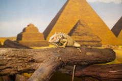 Reptiles. Live wild reptiles lizards shot close-up in nature Stock Photo