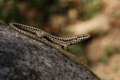 Common Wall Lizard, Lizards, Wall Lizard, Podarcis muralis. Reptiles - Lizards - Common Wall Lizard, Lizards, Wall Lizard, Podarcis muralis royalty free stock photography