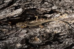 Common Wall Lizard, Lizards, Wall Lizard, Podarcis muralis. Reptiles - Lizards - Common Wall Lizard, Lizards, Wall Lizard, Podarcis muralis royalty free stock photo