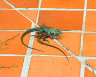 Reptiles mating in the tropics Royalty Free Stock Photos